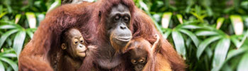 Orangutan & Deforested Land